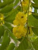 Blumen Ylang Ylang lizenzfreies stockfoto