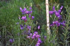Blumen am Zaun nahe einer Landstraße in Fort Worth Lizenzfreie Stockfotografie