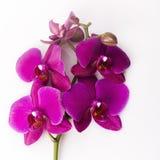 Blumenanordnung - orchises auf dem hellen Hintergrund Lizenzfreies Stockbild