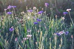 Blumenbüschelkopf-Purpurblüte Lizenzfreie Stockfotografie