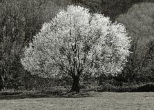 Blumenbaum im Frühjahr Lizenzfreie Stockbilder