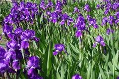 Blumenbeet bedeckt mit purpurroter Iris in der Blüte Lizenzfreie Stockfotos