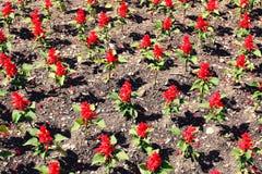 Blumenbeet der kleinen roten Blumenansicht von oben lizenzfreie stockfotografie