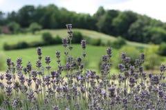 Blumenbeet des blühenden Lavendels Stockfotos