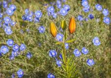 Blumenbeet mit blauer Leinen- und Safranlilie Lizenzfreie Stockfotografie