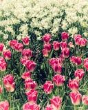 Blumenbeet mit den rosa und weißen Blumen, natürlicher Blumenfrühlingshintergrund Lizenzfreie Stockfotografie