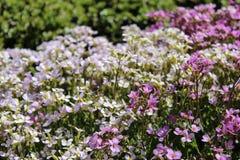 Blumenbeet mit den weißen und rosa Blumen Stockbilder
