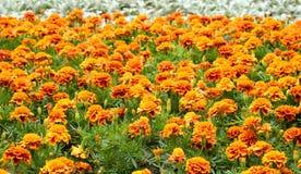 Blumenbeet mit orange Blumen Stockfotografie