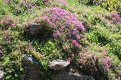 Blumenbeet mit Sedum Spurium und Flammenblume Subulata Lizenzfreie Stockfotos
