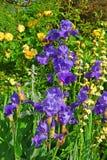 Blumenbeet mit violetter Iris und gelben Rosen Stockbilder