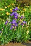 Blumenbeet mit violetter Iris und gelben Rosen Lizenzfreie Stockbilder