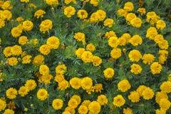 Blumenbeet von gelben Ringelblumen Lizenzfreie Stockbilder