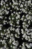 Blumenbeet von kleinen weißen Blumen von Aubrieta-Klasse Stockbild