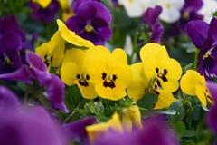 Blumenbeet von mehrfarbigen Stiefmütterchenblumen im Garten stockfoto