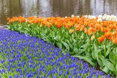 Blumenbeet von Muscari und von Tulpen im Park bei Keukenhof Lizenzfreies Stockfoto