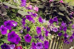 Blumenbeet von purpurroten Blumen auf einem Metallgeländer in der Stadt Stockfotografie