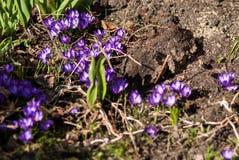 Blumenbeet von purpurroten Krokussen Lizenzfreie Stockfotografie