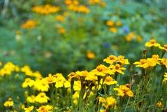 Blumenbeet von Ringelblumen Lizenzfreie Stockfotos