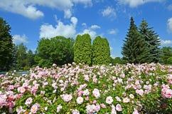 Blumenbeet von rosa Rosen im Park Stockbilder