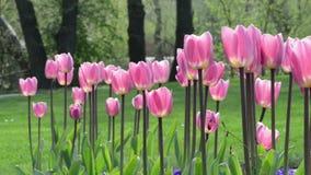 Blumenbeet von rosa Tulpen blüht im Wind frühjahr stock video