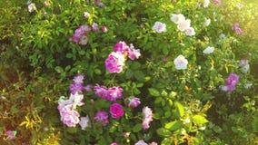 Blumenbeet von Rosen stock video