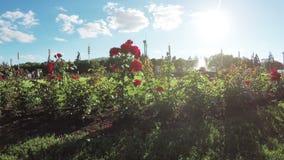 Blumenbeet von Rosen stock footage