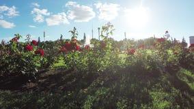 Blumenbeet von Rosen stock video footage