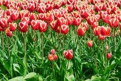Blumenbeet von Tulpen Lizenzfreie Stockbilder