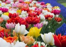 Blumenbeet von Tulpen in botanischem Garten Keukenhof, Holland stockbild