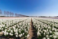 Blumenbeete in den Niederlanden Lizenzfreies Stockbild