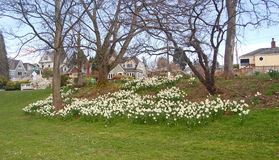 Blumenbeete von weißen Narzissen an Greenlake-Park Stockbild