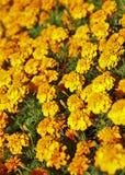 Blumenbett der schönen Ringelblume Lizenzfreies Stockfoto
