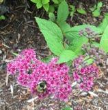 Blumenbiene Lizenzfreie Stockfotografie