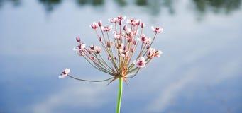 Blumenbinse oder Graseile-Butomus-umbellatus Stockfoto