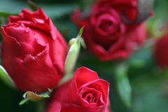 Blumenblätter der dunkelroten Rosen lizenzfreies stockfoto