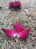 Blumenblätter der gefallenen Rotrose Stockfotos