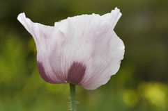 Blumenblätter der Mohnblume Lizenzfreies Stockbild