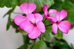 Blumenblätter der Pelargonie Lizenzfreie Stockfotos