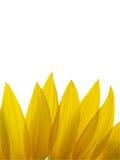 Blumenblätter der Sonnenblume getrennt auf weißem Hintergrund Lizenzfreie Stockfotos