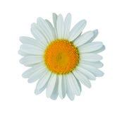 Blumenblätter des Gänseblümchens Lizenzfreie Stockfotografie