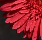 Blumenblätter des rosafarbenen gerbery auf einem dunklen Hintergrund Stockfoto