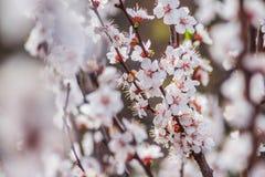 Blumenblätter einer weiße Aprikose lizenzfreies stockbild
