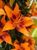 Blumenblätter, Schande und Antheren einer orange Lilie Lizenzfreie Stockbilder