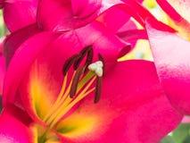Blumenblätter, Schande und Antheren einer rosa Lilie Lizenzfreies Stockfoto