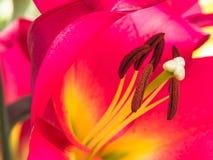 Blumenblätter, Schande und Antheren einer rosa Lilie Lizenzfreies Stockbild
