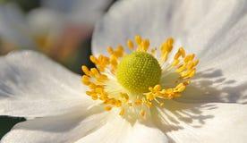 Blumenblätter und Staubgefäß Lizenzfreies Stockbild