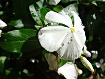 Blumenblätter und Tropfen Lizenzfreies Stockbild