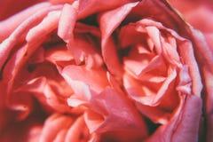 Blumenblätter von rosa Rose Stockfotografie