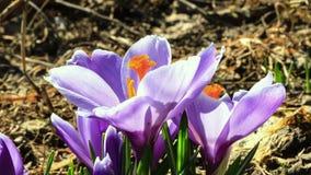 Blumenblüte im Frühjahr. Zeitspanne stock video footage