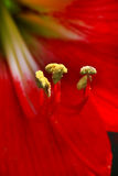 Blumenblütenstaub Lizenzfreie Stockbilder